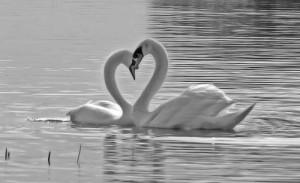 兩隻天鵝的出現剛好形成一個心形,讓相片帶出另一種意義 Photo by {link:http://www.flickr.com/photos/darragh/147524994/}Darragh Sherwin{/link}