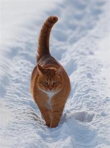 雪地的白色很好地突出了黃色的貓 Photo by {link:http://www.flickr.com/photos/jettajet/3234289183/}~Jetta Girl~{link}