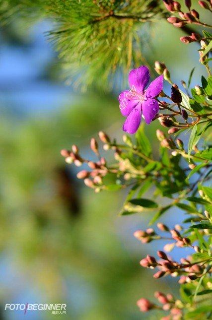 使用了200mm的焦距,對焦在花朵上,加上f/2.8的大光圈,淺景深輕易做到了!