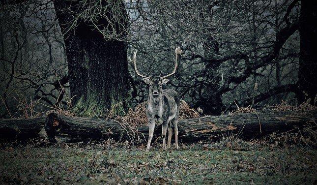 (2) 英國Dunham Massey的壯鹿。 Picture: Callan Hammond