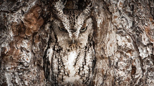 portrait of an eastern screech owl image © national geographic / graham mcgeorge