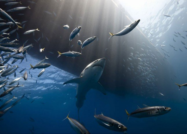 great white shark of guadalpe island image courtesy of national geographic and marc henauer