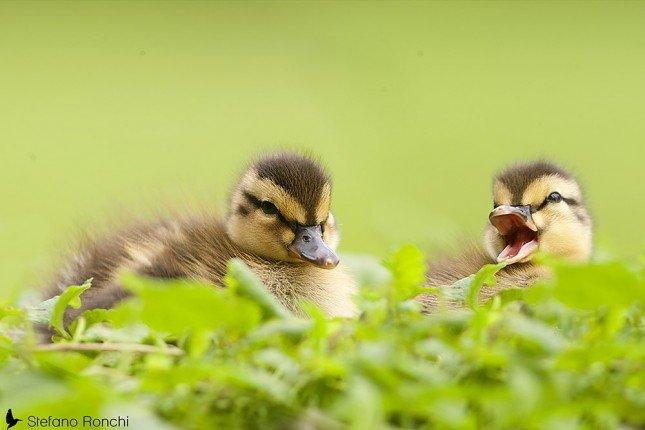 精彩相片拍攝教學 (168) – 可愛小鴨 - No.1 攝影技巧學習平台 | 攝影課程