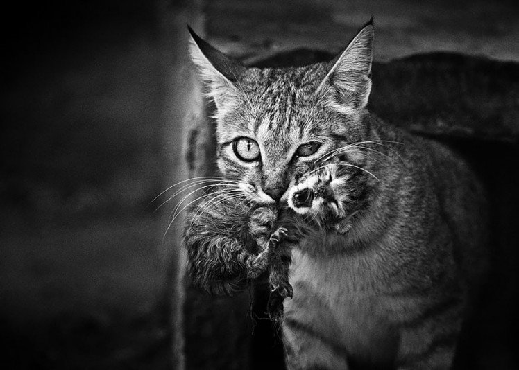 Photo by {link:http://500px.com/photo/6294344/wild-cat-by-doron-nissim}Doron Nissim{/link}