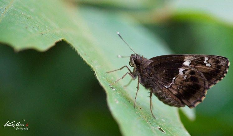 希弄蝶(Hyarotis adrastus )