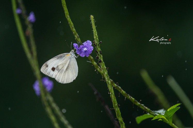 東方菜粉蝶(Pieris canidia)