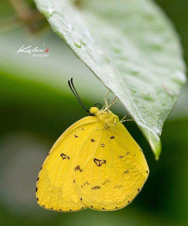 寬邊黃粉蝶(Eurema hecabe)