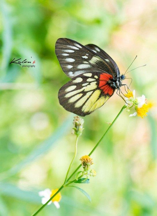 報喜斑粉蝶(Delias pdsithoe)