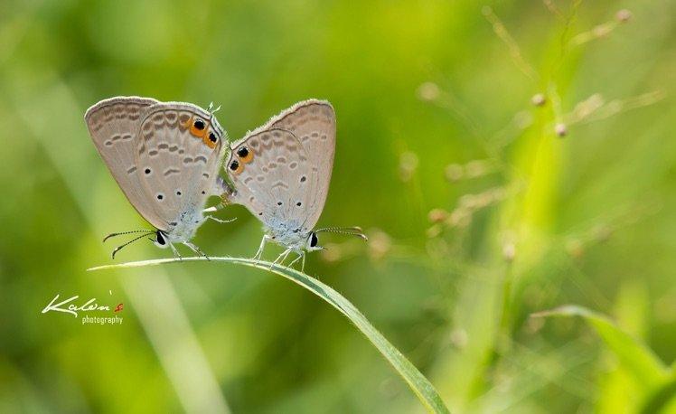 棕灰蝶(Euchrysops cnejus)