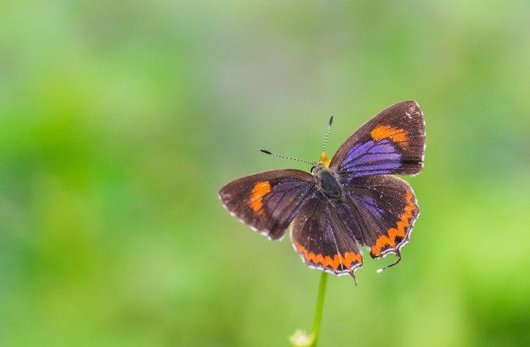 斜斑彩灰蝶‧背面