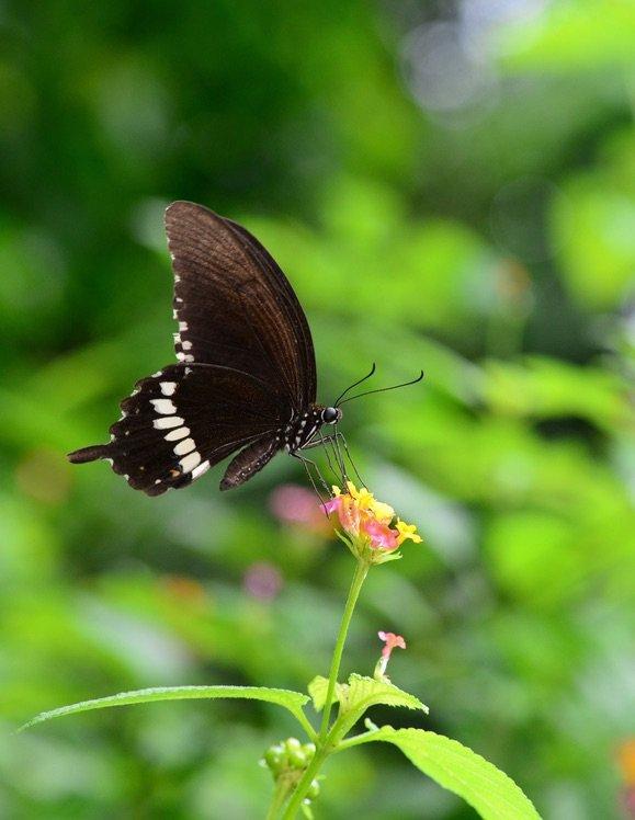 玉帶鳳蝶(Papilio polytes)