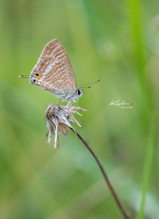 亮灰蝶(Lampides boeticus)