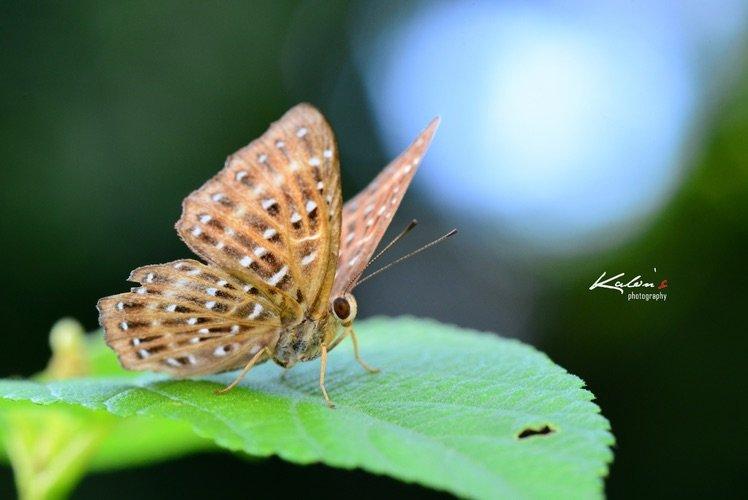 波蜆蝶(Zemeros flegyas)