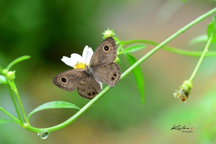 矍眼蝶(Ypthima baldus)