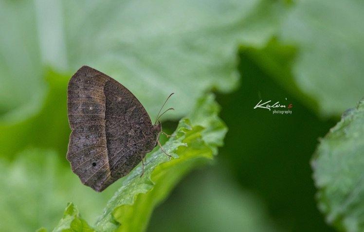 平頂眉眼蝶(Mycalesis zonata)旱季型