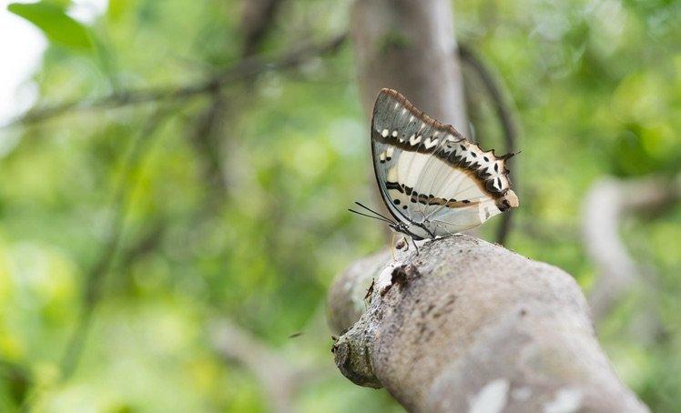忘憂尾蛺蝶(Polyura nepenthes)