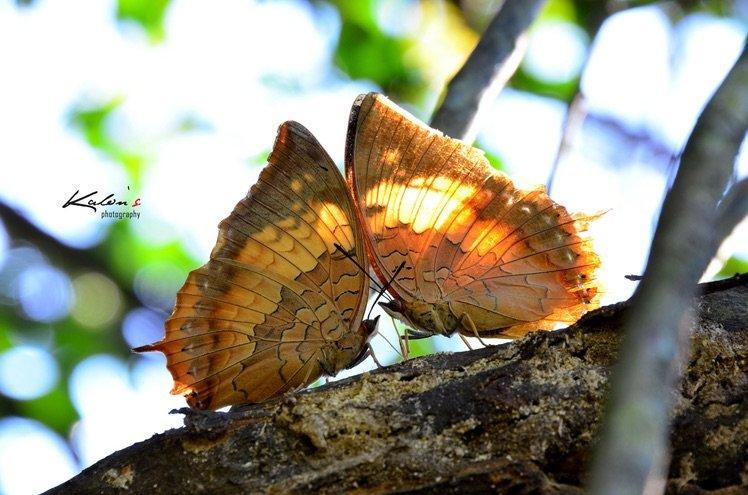 白帶螯蛺蝶Charaxes bernardus