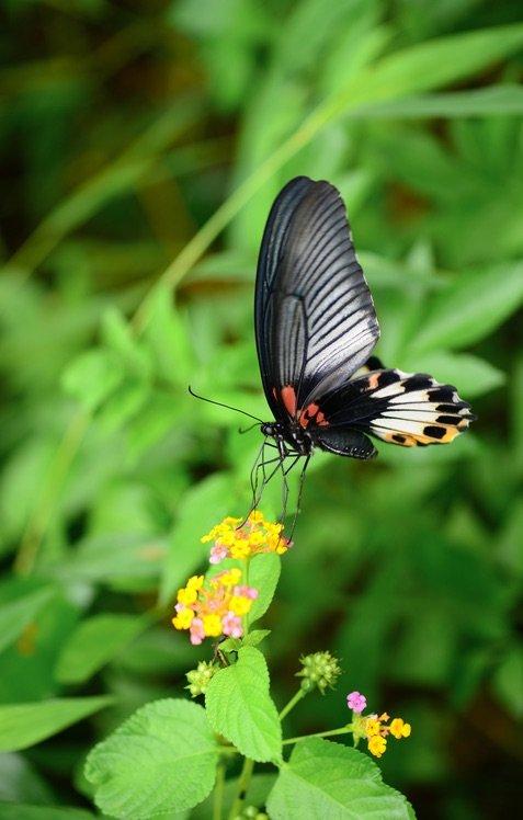 美鳳蝶(Papilio memnon)