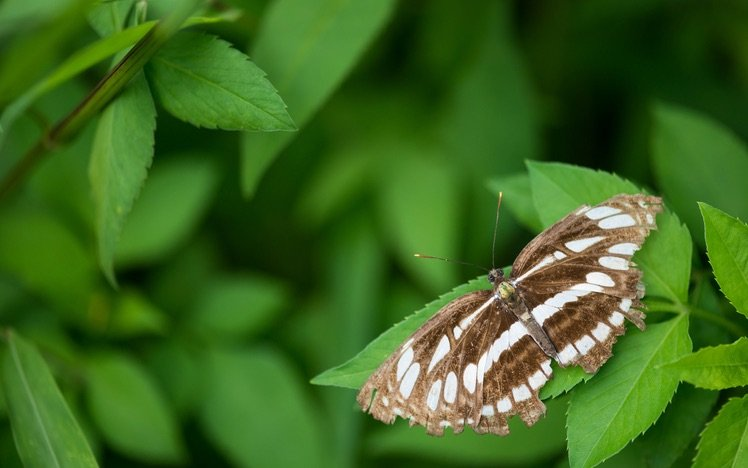 中環蛺蝶(Neptis hylas)