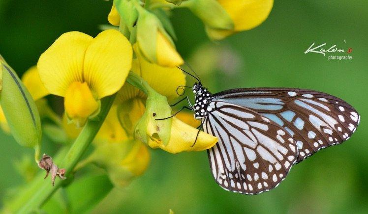 絹斑蝶(Parantica aglea)
