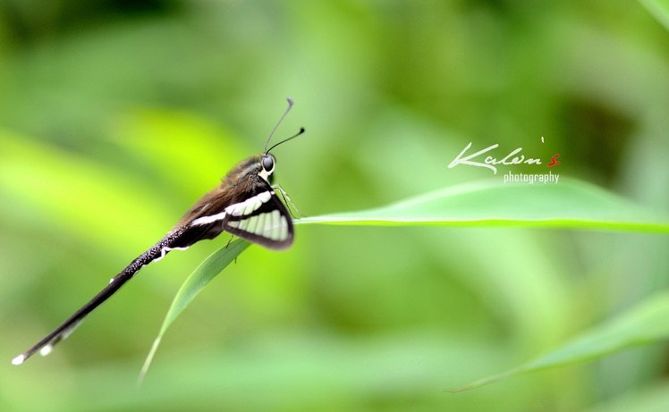 燕鳳蝶(Lamproptera curius)