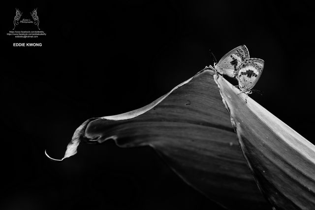 曲紋紫灰蝶 Chilades pandava