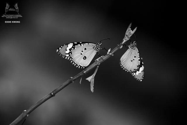金斑蝶 Danaus chrysippus