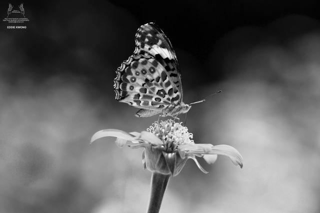 斐豹蛺蝶 Argyreus hyperbius (雌性 / Female)