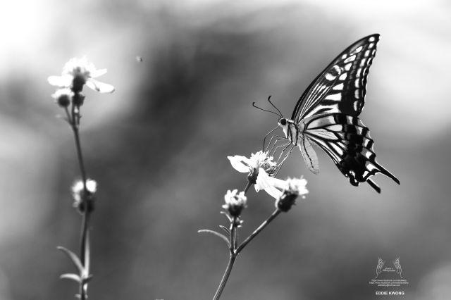 柑橘鳳蝶 Papilio xuthus