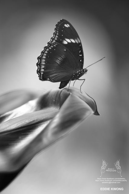 幻紫斑蛺蝶 Hypolimnas bolina