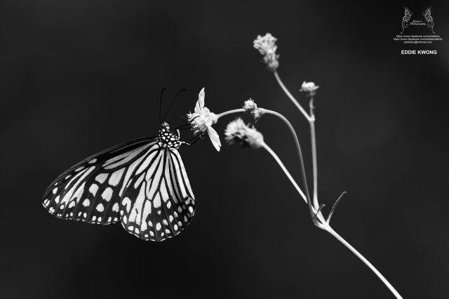 絹斑蝶 Parantica aglea