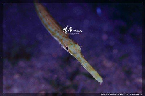 pipefish2_w