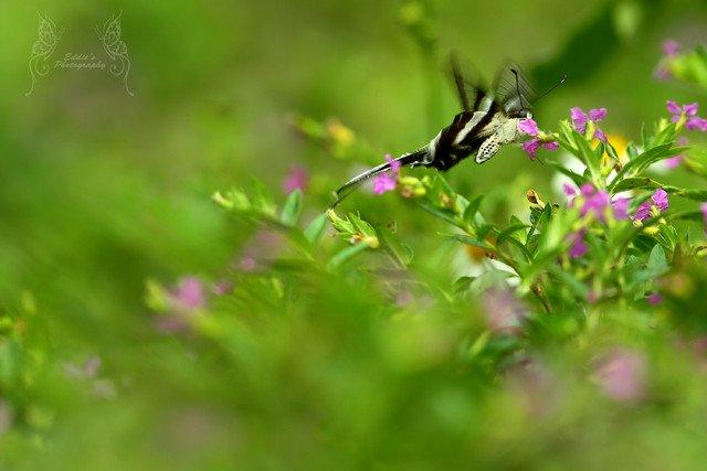 慢快門的拍攝加強了蝶兒的拍動感