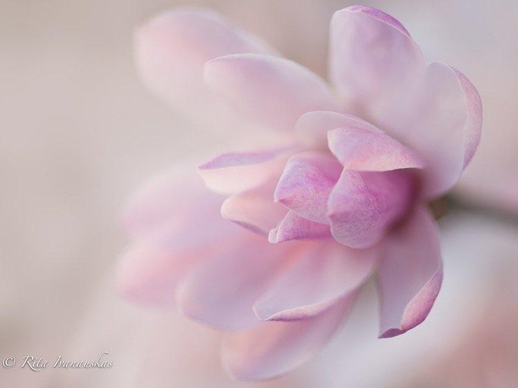 Photo by {link:https://500px.com/photo/102236957/magnolia-by-rita-ivanauskas}Rita Ivanauskas{/link}