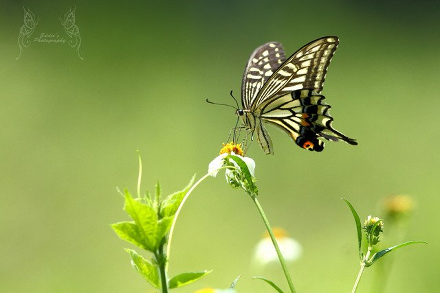 柑橘鳳蝶 Papilio xuthus (Swallowtail) (300mm, F/6.3, 1/1000s, ISO 400)