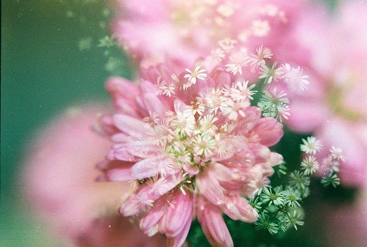 粉紅色和白花的「雙重曝光」。 (Photo by {link:https://www.flickr.com/photos/hmoong/14255220021}Khánh Hmoong{/link})