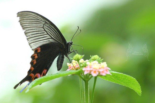 穹翠鳳蝶 Papilio dialis