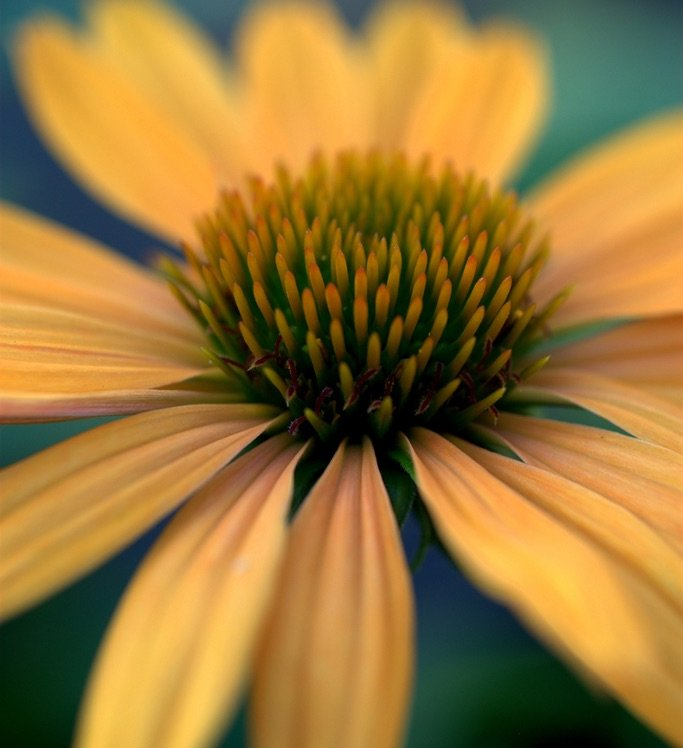Photo by {link:https://500px.com/photo/102259911/echinacea-purpurea-in-orange-by-nate-a}Nate A{/link}