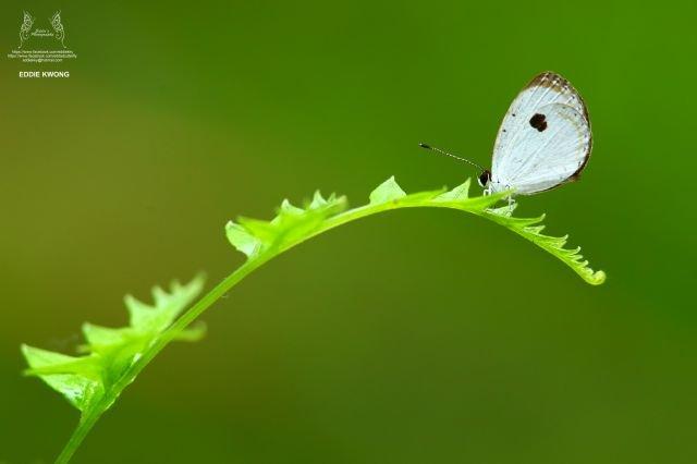 黑丸灰蝶 Pithecops corvus