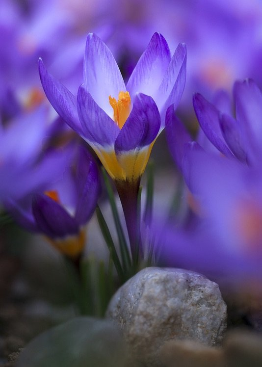 Photo by {link:https://500px.com/photo/102306913/crocus-by-honza-votava}Honza Votava{/link}