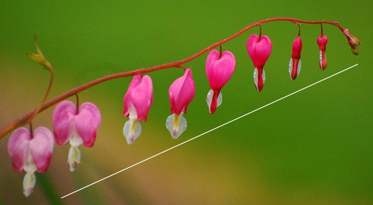 不同的花可以用不同的構圖方法,例如對角線構圖。 (Photo by {link:https://www.flickr.com/photos/ronnie44052/2488796034}Rona Proudfoot{/link})