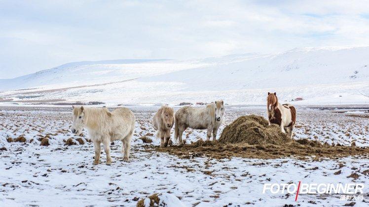 到冰島又怎會少了可愛的冰島馬呢?