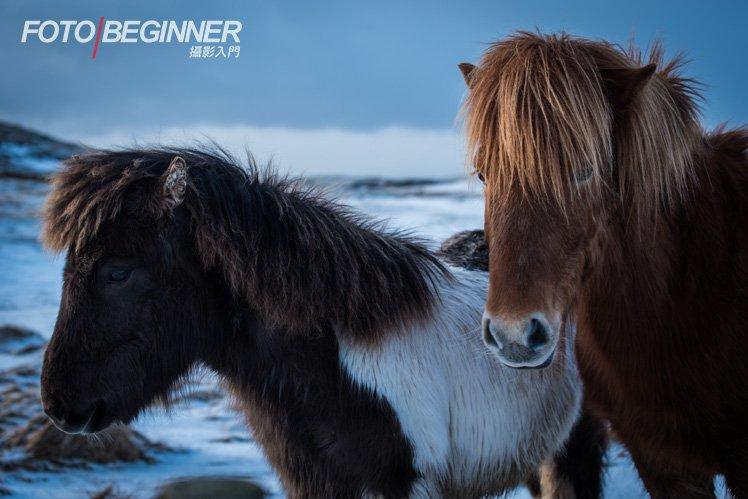 冰島馬真的很可愛親人啊!
