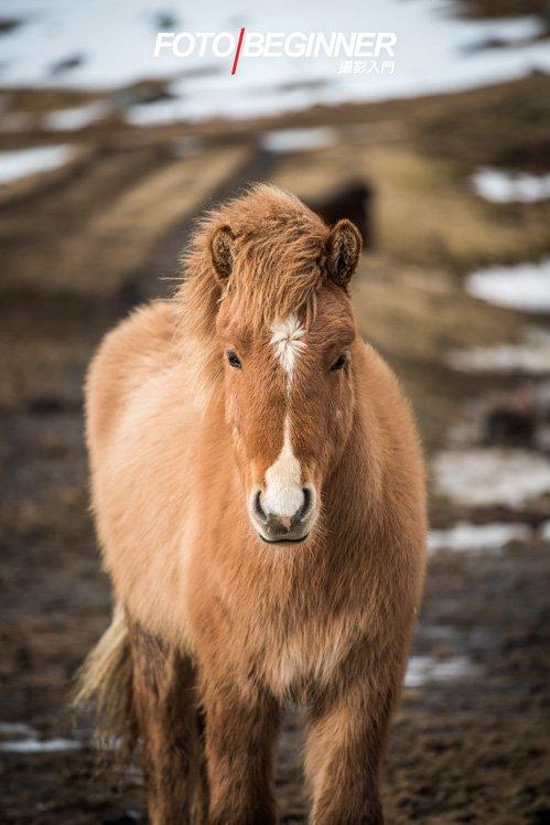 冰島馬兒真的很漂亮!
